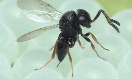 Emilia-Romagna, vespa samurai efficace contro cimice asiatica