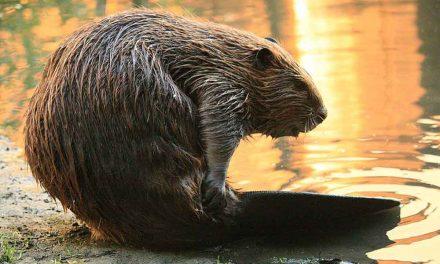 GB: il ritorno dei castori aiuta il clima