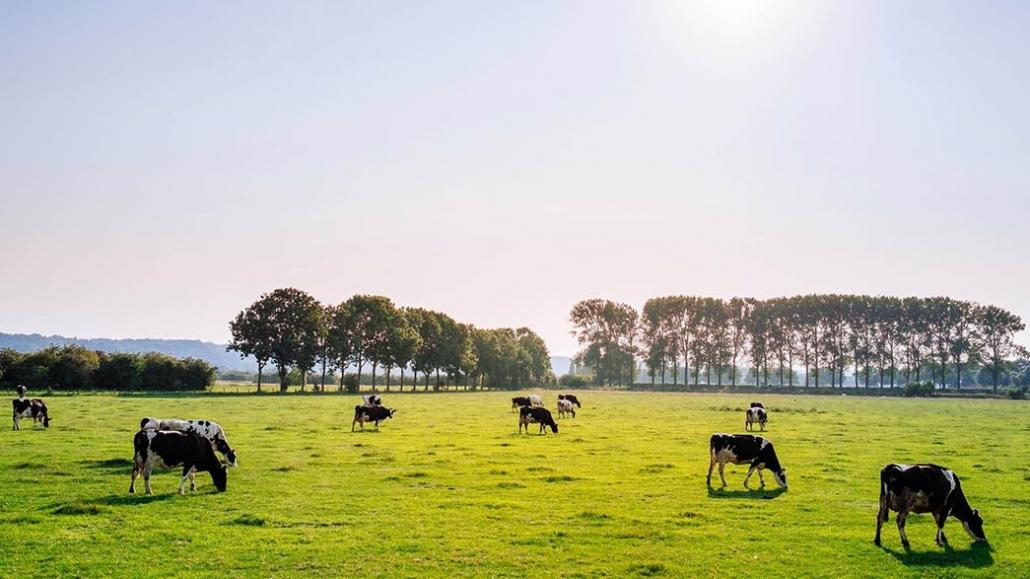 Nutrire mucche con alghe riduce produzione di metano