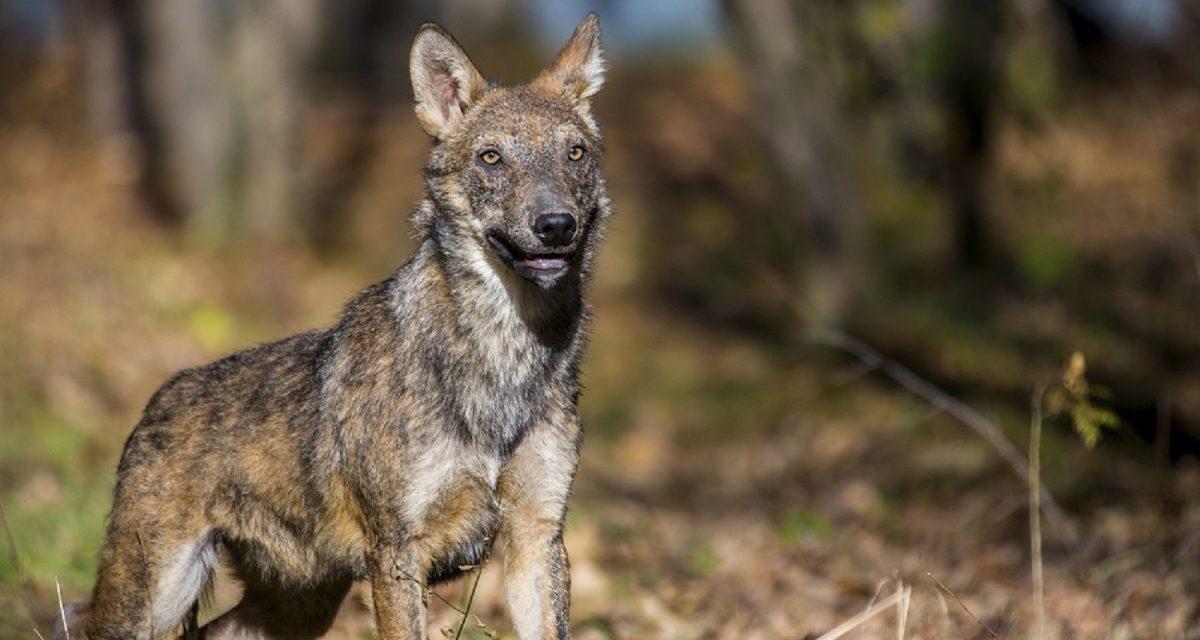 Danni provocati dai lupi in Umbria, risarcimenti per gli allevatori