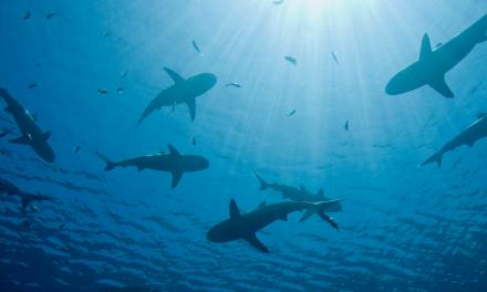La pesca degli squali