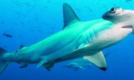 Gli squali si orientano grazie a campo magnetico Terra