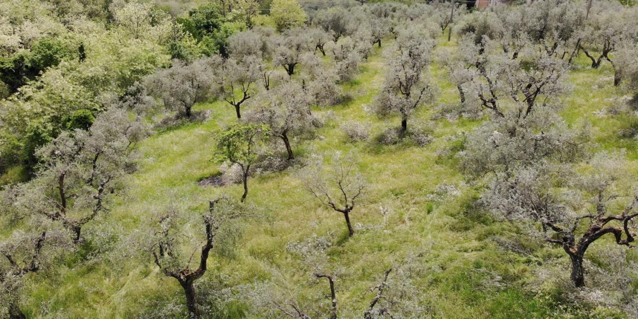 Ageroliva punta sul recupero degli ulivi abbandonati