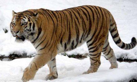 Tigre siberiana verso l'estinzione: restano 500 esemplari